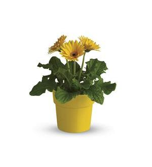Rainbow Rays Potted Gerbera - Yellow (T95-4A)