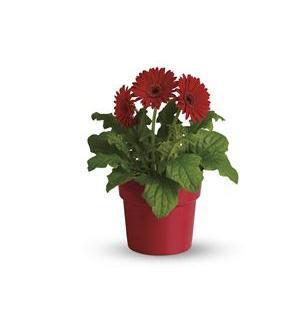 Rainbow Rays Potted Gerbera Red Deluxe Item T95 5b