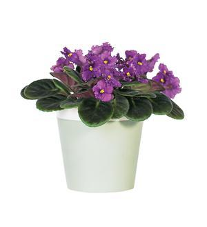 Purple African Violet (TF128-1)