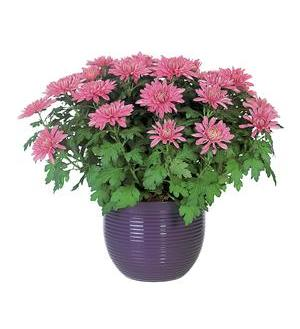 Lavender Chrysanthemum (TF132-3)