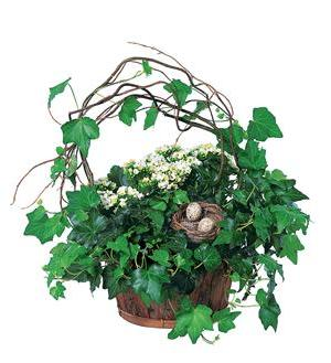 Kalanchoe and Ivy Basket (TF139-1)