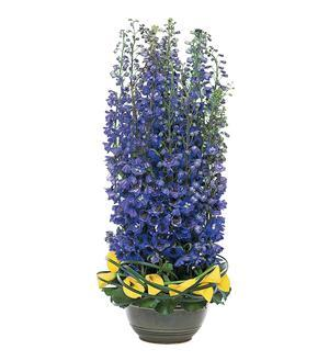 Distinguished Delphinium (TF145-1)
