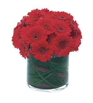 Red Gerbera Collection (TF147-1)
