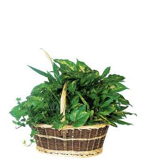 Green Garden Basket Deluxe (TF192-1)