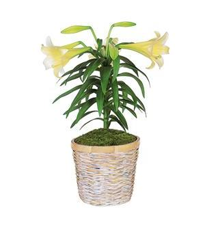 Easter Lily Plant (TF60-1)