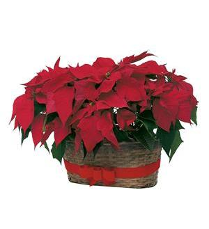 Double Poinsettia Basket (TF84-2)