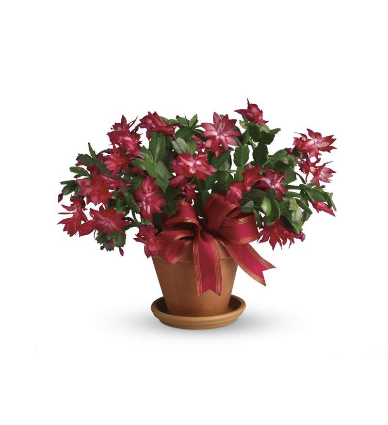Merry Christmas Cactus T123 3a