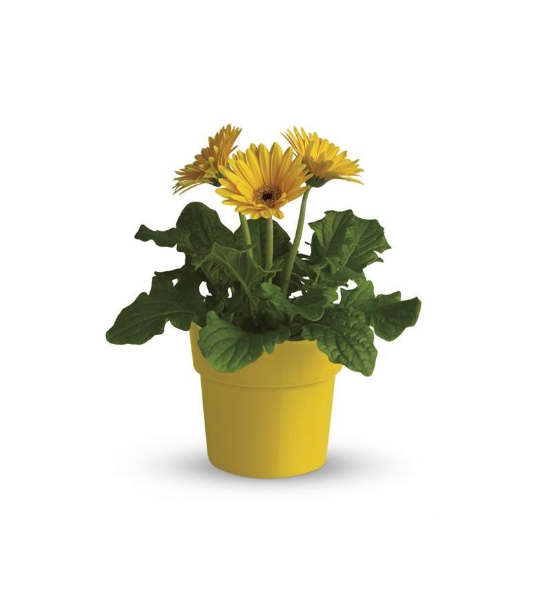 Rainbow Rays Potted Gerbera - Yellow (T95-4A)  sc 1 st  Flower Shopping & Rainbow Rays Potted Gerbera - Yellow - T95-4A ($36.86)