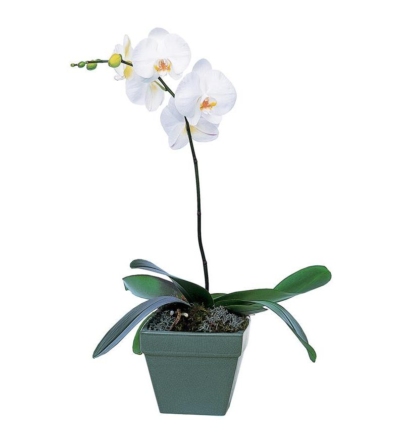 Teleflora Phalaenopsis Orchid Plant Plant Arangement - As Shown