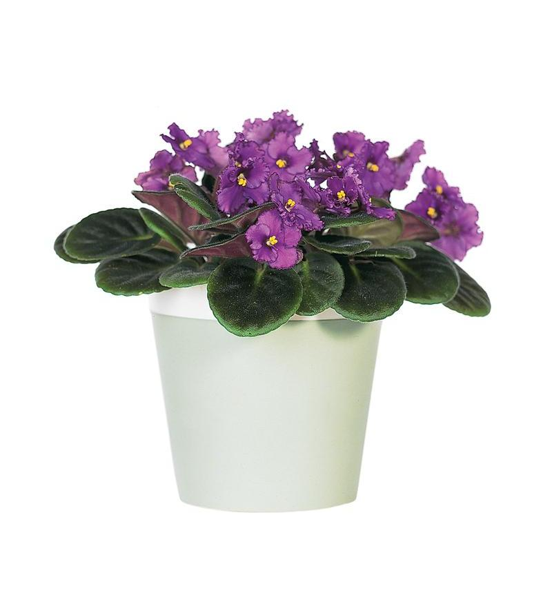 Purple African Violet Tf128 1 3776