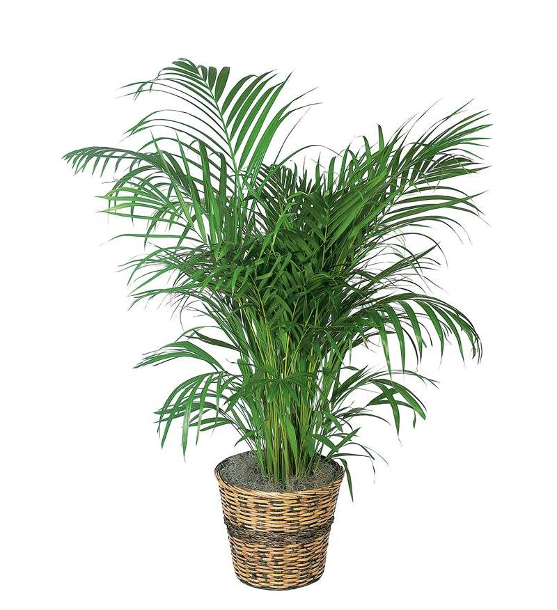 Areca palm tf136 3 for Pictures of areca palm plants