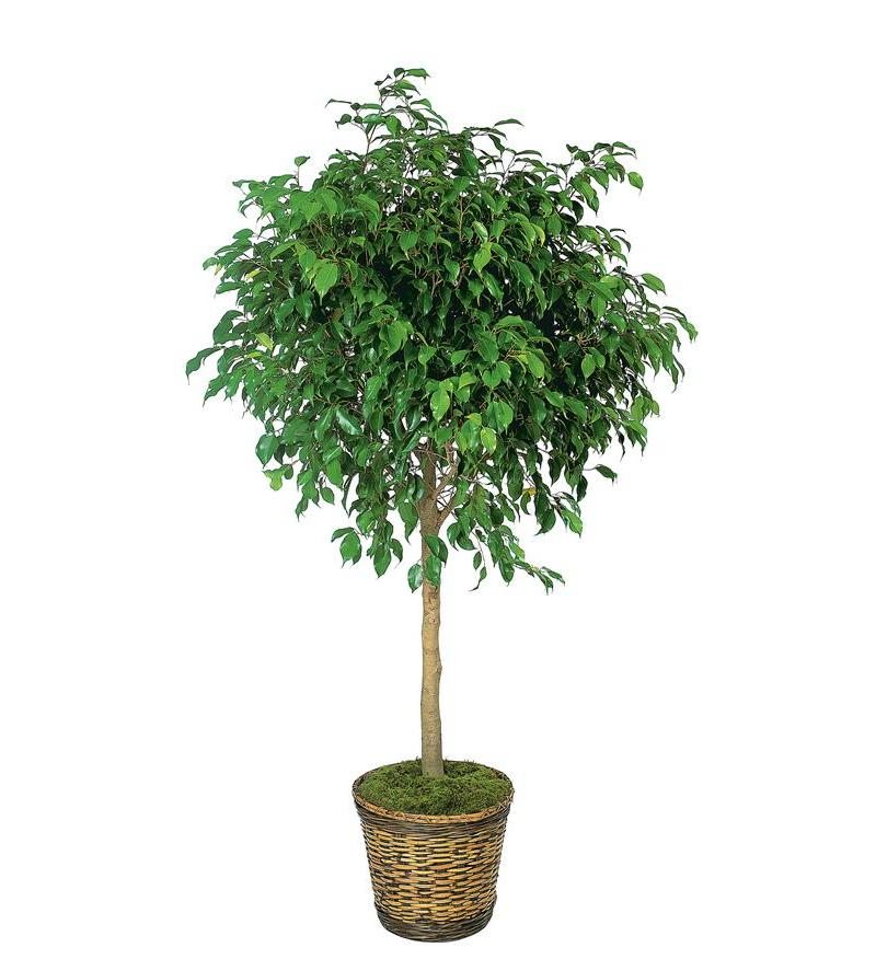 Ficus Tree Tf136 4 100 76