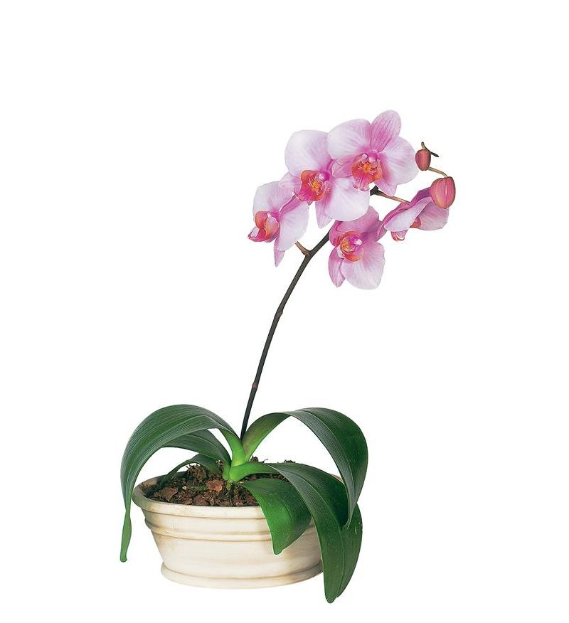 Teleflora Lavender Phalaenopsis Orchid Plant Arangement - As Shown